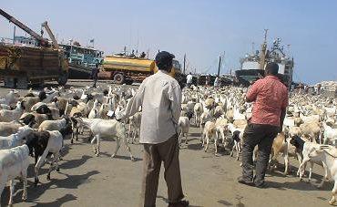 Saudi Arabia bans livestock imports from Djibouti over RVF fears