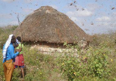 Locust invasion threaten pastoralist in Northern Kenya